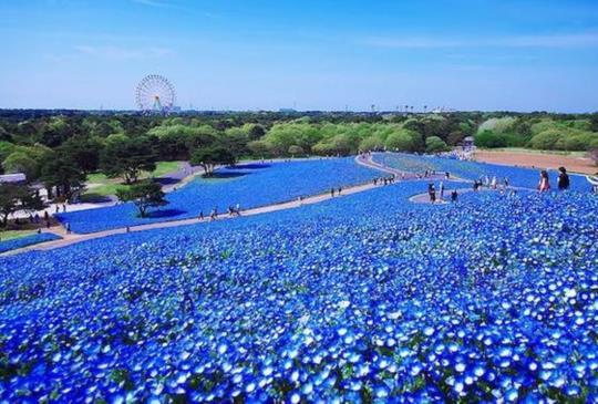 【跟著花朵去旅行!日本夏天絕美必追花季盤點】