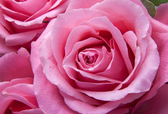 看見不一樣的秋日本 精選關西四大玫瑰花園