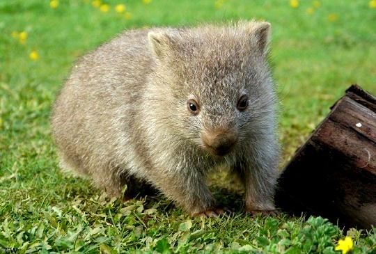 可愛的野生澳洲動物2