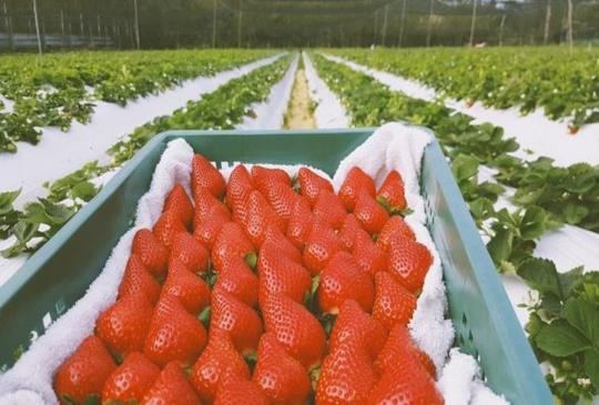 【採草莓特輯】採草莓不用一定要到大湖!全台特搜八間草莓農場