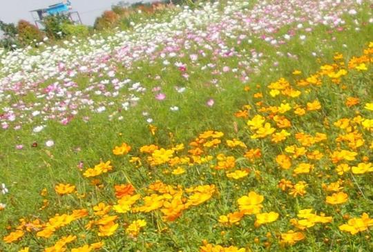 【賞花免南下!「桃園花彩節」數百公頃花海、可愛小羊任你拍】