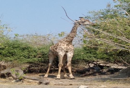 【波札那共和國】世界上大象數量最多的動物天堂-喬貝國家公園