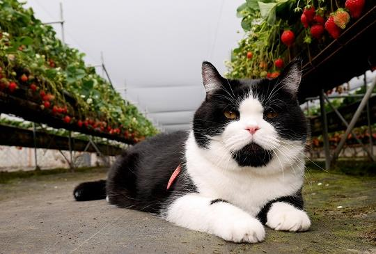 『大湖草莓現正熱採中』咪咪的採草莓初體驗