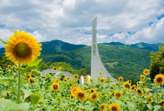 【午後雨不停?到花東看金黃色的向日葵花田 給你滿滿小太陽!】