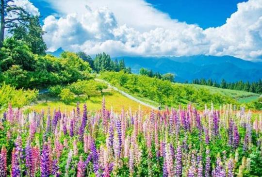五月花海特報!桐花、薰衣草、繡球花、百花與繽紛魯冰花一次滿足!