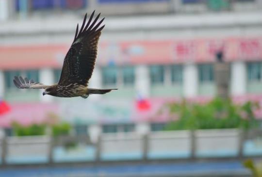 台北攝影趣(二十三)基隆港海洋廣場拍黑鳶