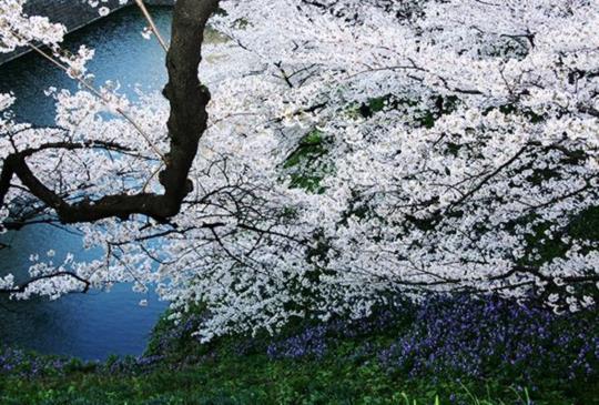 【日本】櫻吹雪的季節:「東京」六個粉櫻大爆炸的浪漫景點