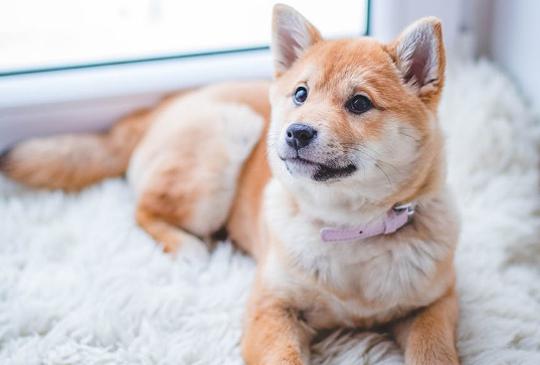 狗狗的愛:讓動物科學家告訴你,你的狗有多愛你