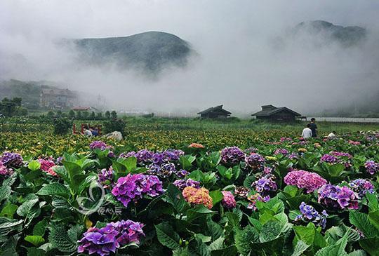 竹子湖繡球花接棒海芋盛開
