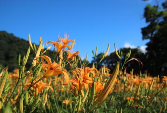 【花蓮】抓住夏季的尾巴,上天編織的金色花毯