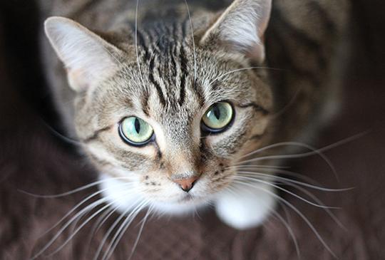 【每6隻貓,就有1隻罹患潛在心臟病!?】