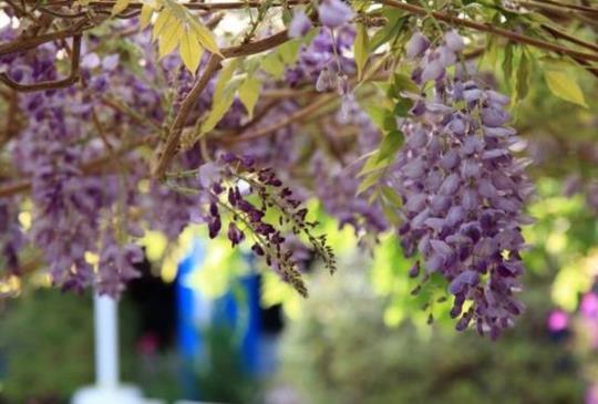 【紫色瀑布開始囉!2016瑞里紫藤花季16處最佳賞花地點公布!】