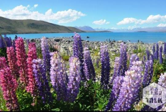 【紐西蘭】蒂卡波湖:如鮮麗畫作的南半球盛夏風情