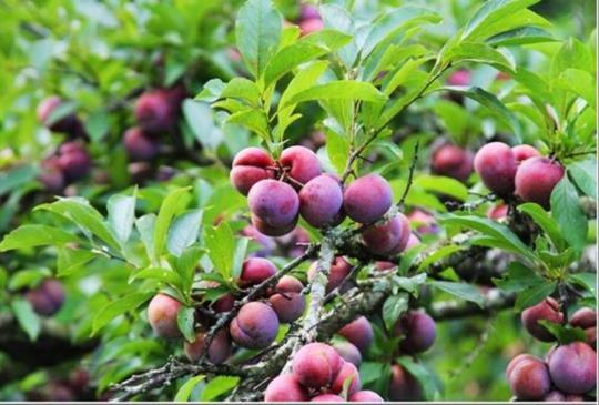 【台灣好好玩‧苗栗】現採新鮮的果粉鮮甜紅肉李 三義穗花山奈果園