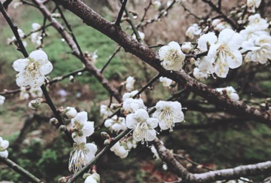 【南投九份二山梅花遍地盛開,花期僅2週賞花要快!】