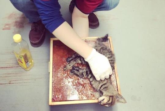 【想吃小魚乾 小貓被黏鼠板黏牢牢】獸醫師教你如何解救被黏貓咪