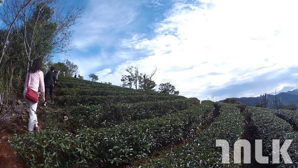 茶園5.JPG