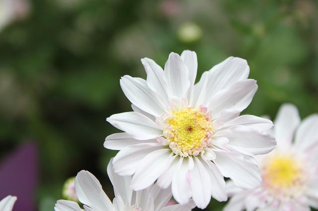 chu-chrysanthemum-977639_640.jpg
