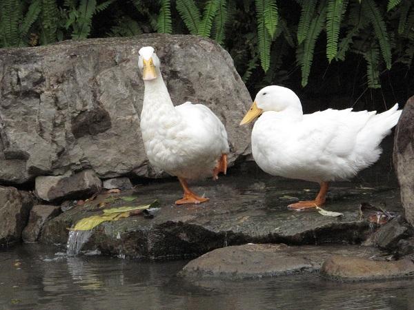 礁溪溫泉鴨子