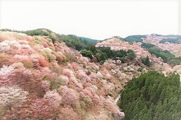 吉野山櫻花.jpg