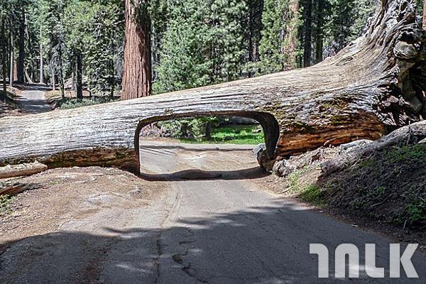 Tunnel_Log_Sequoia.jpg