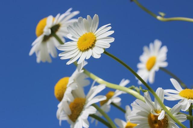 daisies-388946_640.jpg