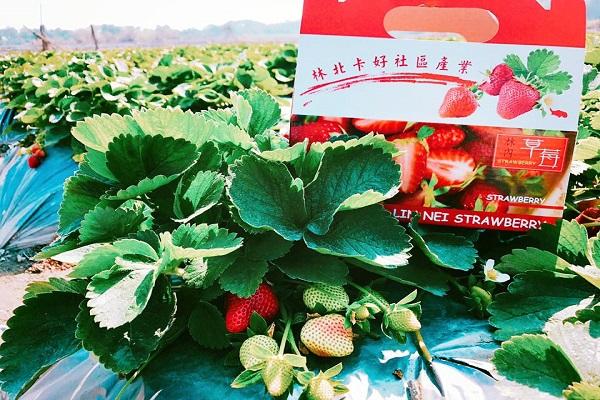 林內幸福草莓園-1.jpg