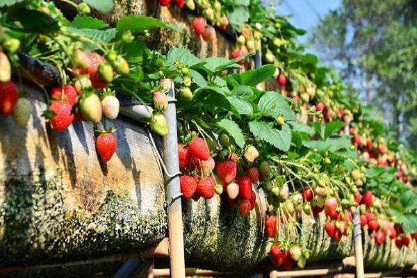 美裕草莓園-1.jpg