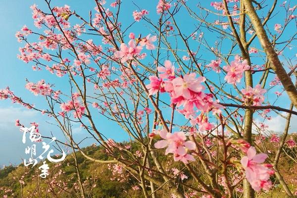 櫻花(陽明山花季)-3.jpg