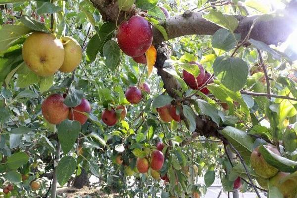 蘋果採收季(福壽山農場)-3.jpg