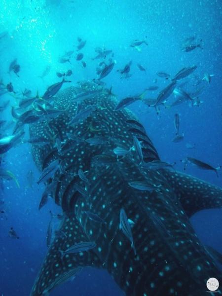 WhaleShark_5.jpg