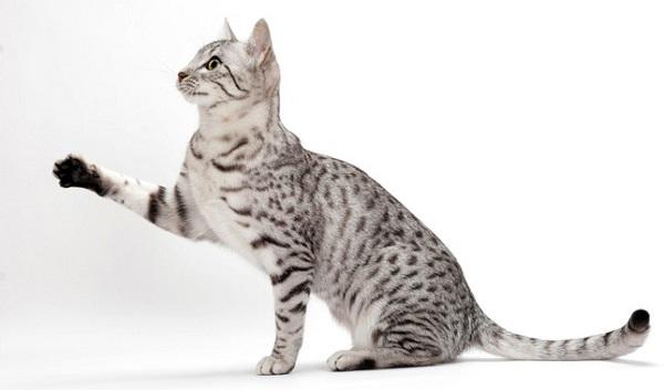 埃及貓.jpg