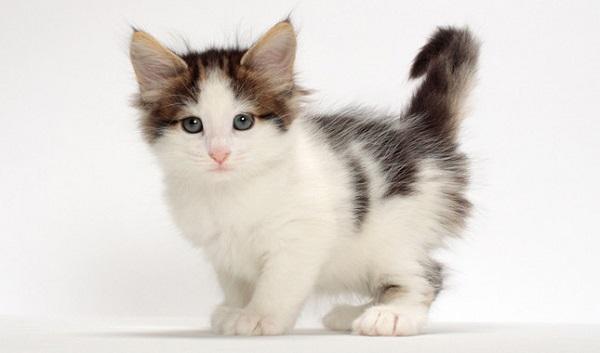 挪威森林貓.jpg