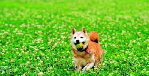 柴犬_resized.jpg