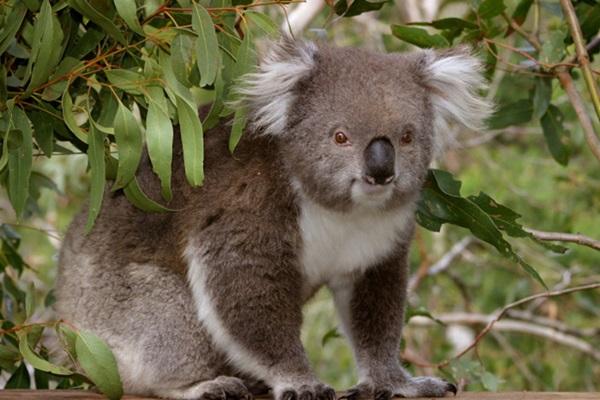 Koala-700x476.jpg