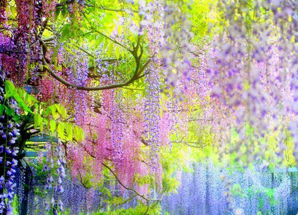 日本必做紫藤.jpg