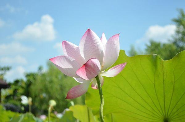 lotus-746700_640.jpg