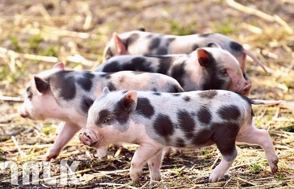002_非洲豬瘟.日本寵物食品零食.jpg