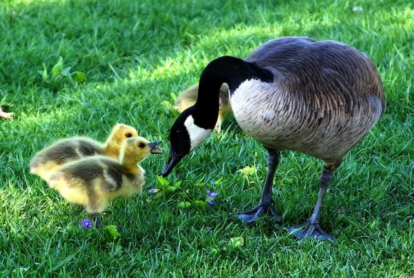 canada-goose-216003_960_720加拿大鵝.jpg
