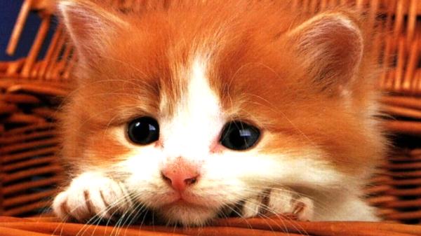 從毛色可以看出貓咪的個性--005.jpg