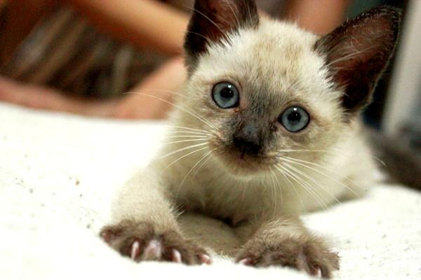 從毛色可以看出貓咪的個性--007(busaikubuu.exblog.jp).jpg