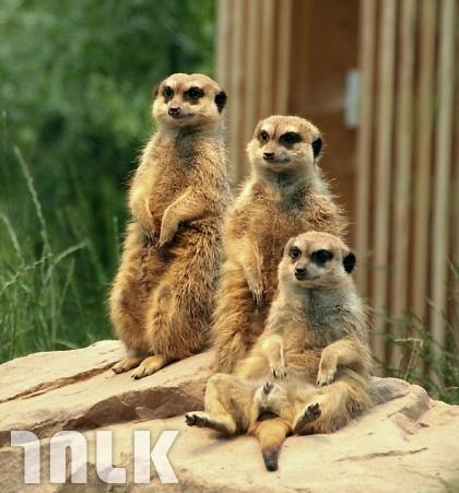 meerkat-1847835_960_720.jpg(浮水印)