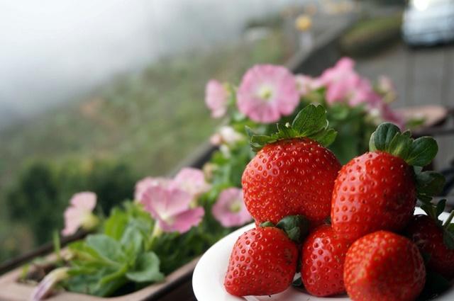 02.2017年冬季草莓出爐,開放採果。.jpg