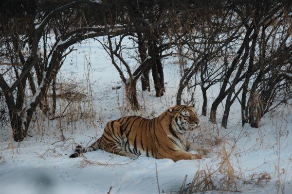 東北虎數量因為人類的捕殺,已經是瀕臨絕種的物種之一,希望這美麗的生命,可以不斷延續下去。(圖片來源:轉載自旅遊滔客)
