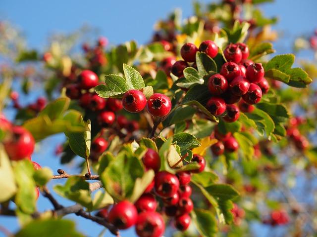 berries-693918_640.jpg